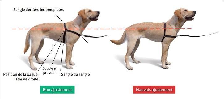 Comment adapter facilement le harnais d'un chien
