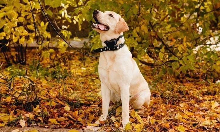 Avantages des colliers d aboiement pour chiens