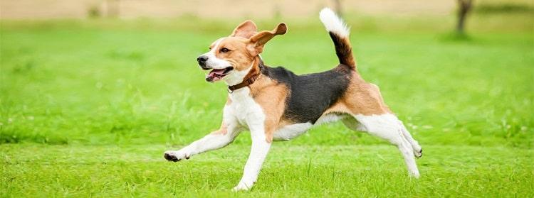 Comment améliorer le système immunitaire du chien