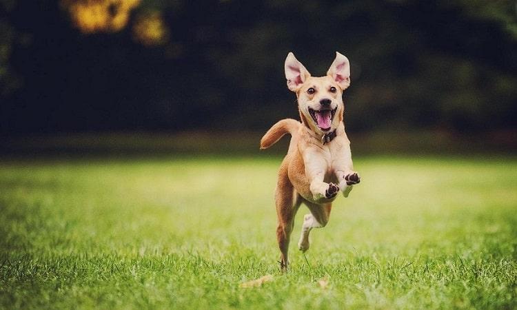 renforcer le système immunitaire du chien